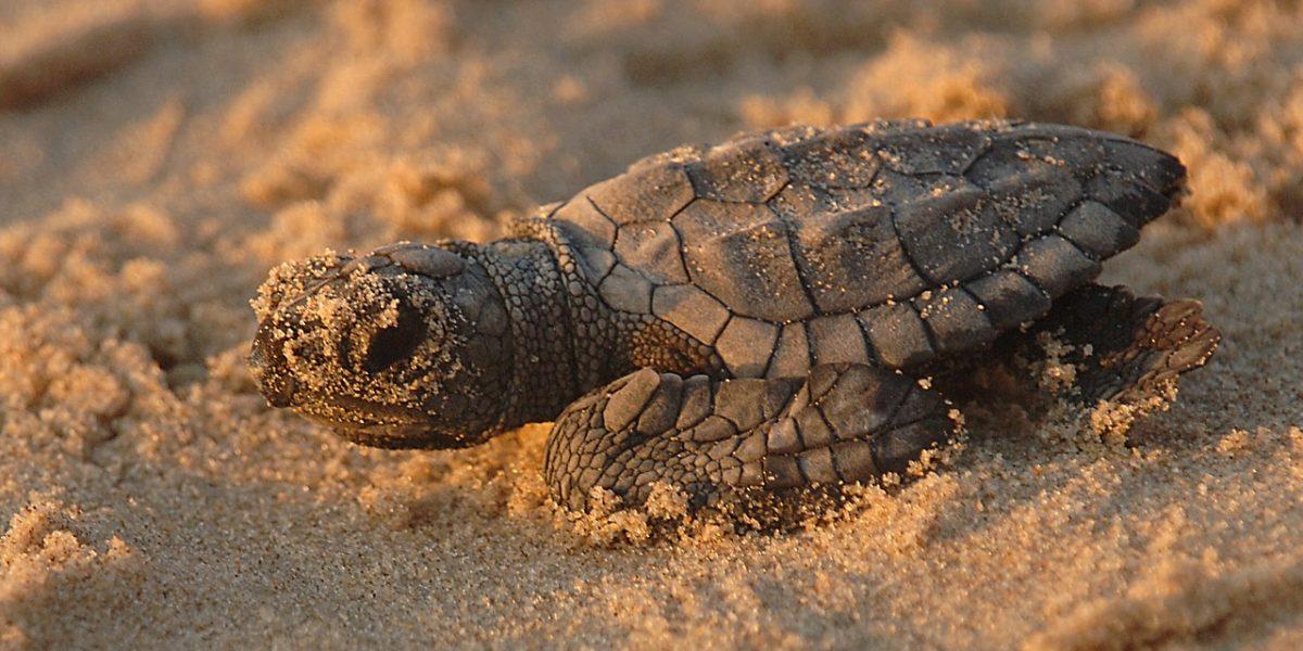 turtle, sea, kemps ridley
