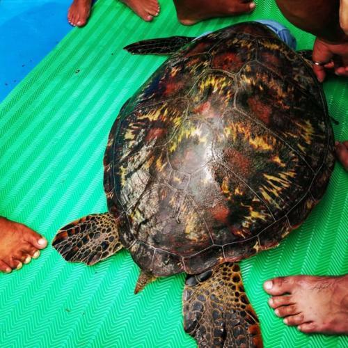 Indo-pacific turtle.