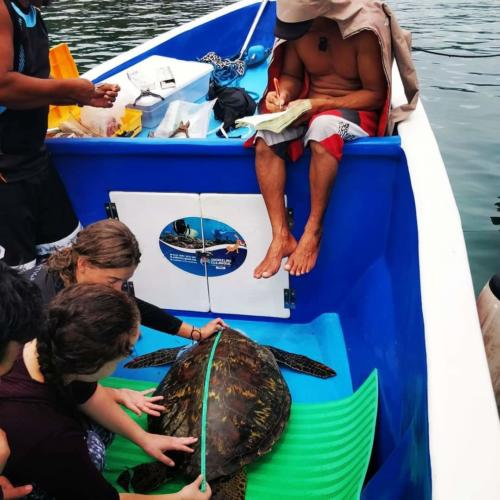 Students and the ETC team measuring an Indo-pacific turtle.
